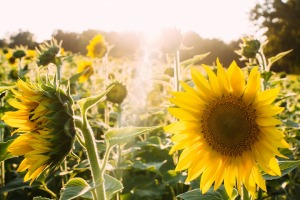 sunflowers-945407_960_720